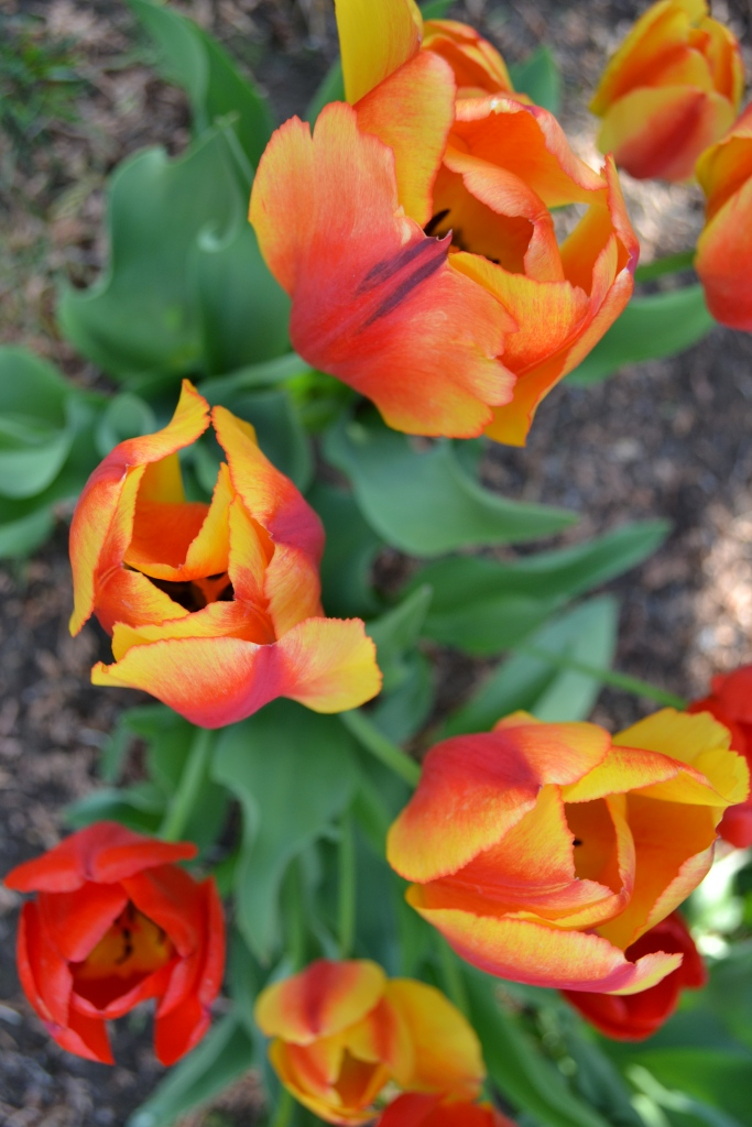 My gorgeous tulips